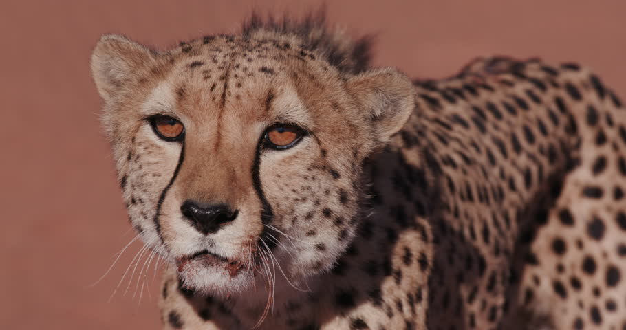 4K Cheetah snarling and looking towards camera | Shutterstock HD Video #17561968