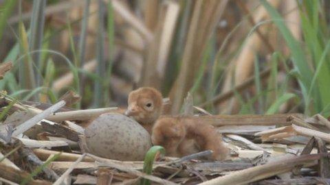 newborn common crane - common crane nest
