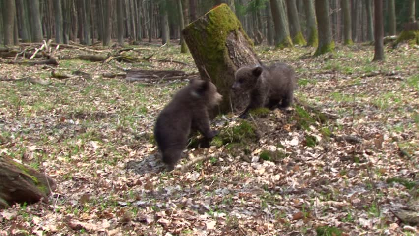 Bear cubs playing and fighting together near stump in forest.
