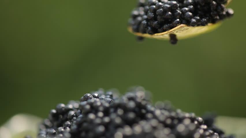 Black caviar in small round metal tin on ice | Shutterstock HD Video #17647015