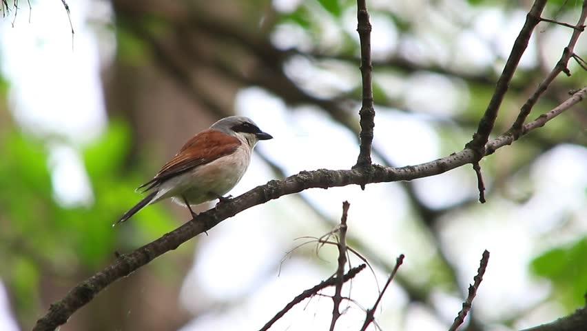 Header of Red-Backed Shrike