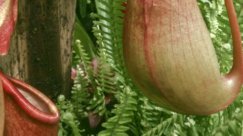 Tropical Pitcher Plant (Nepenthes sp.). Insects fall off the slippery lip and are digested in the fluid within the pitcher.