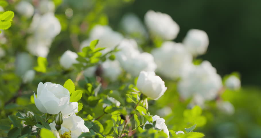 Stock video of white summer flowers blowing in wind 7878187 visually similar footage mightylinksfo