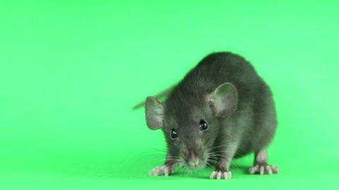 gray rat on a green screen
