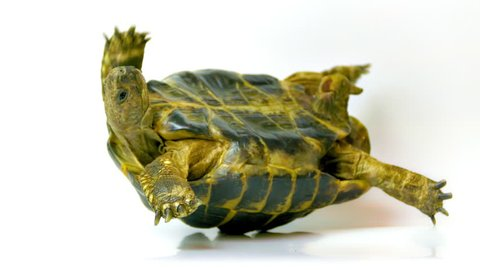 Helpless Russian tortoise turned upside down, shakes its legs in an attempt to get on its feet. (av17503c)