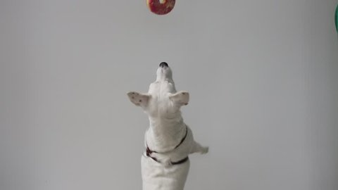 Tease dog food. Jack Russells jumping over a donut