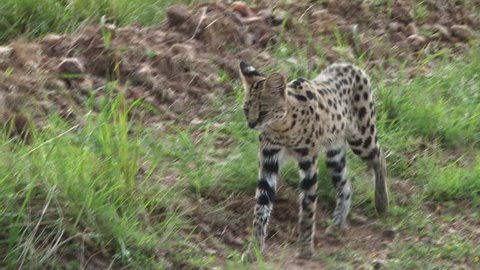 serval cat walking across the camera.