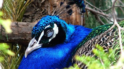 The Indian peafowl or blue peafowl (Pavo cristatus), a large and brightly coloured bird