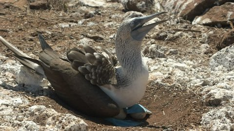 a nesting blue-footed booby sits on an egg at isla nth seymour in the galalagos islands, ecuador