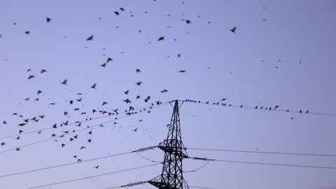 SILHOUETTE: Big flock of black birds flying and sitting on electrical power lines in evening. Many crows gathering high above on electric transmission tower at dusk