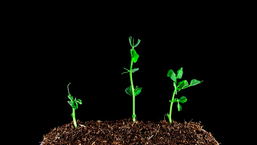 Growing Peas.4K Time Lapse of Pea Seeds Germination