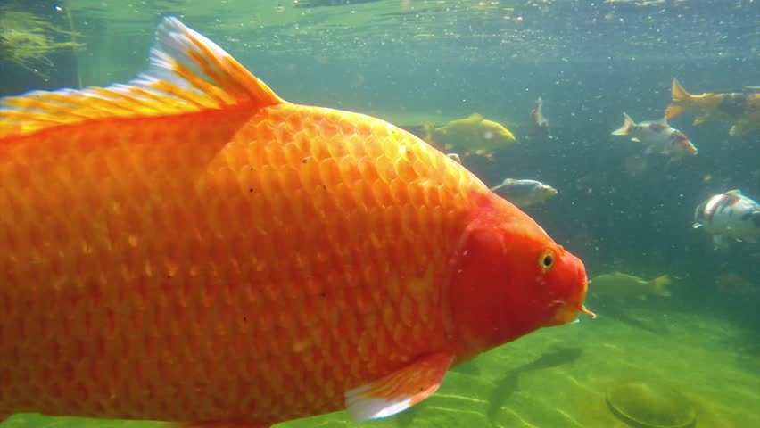 Underwater view of koi fish swimming on surface pond in for Koi fish to pond ratio