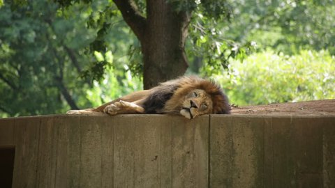 A tired lion lying down rolls over to stretch
