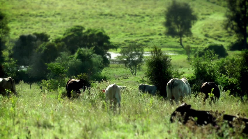 AUSTRALIA - cows in a field