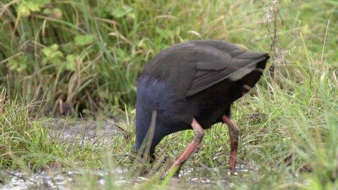 Pukeko digging in swamp in Travis Wetlands New Zealand