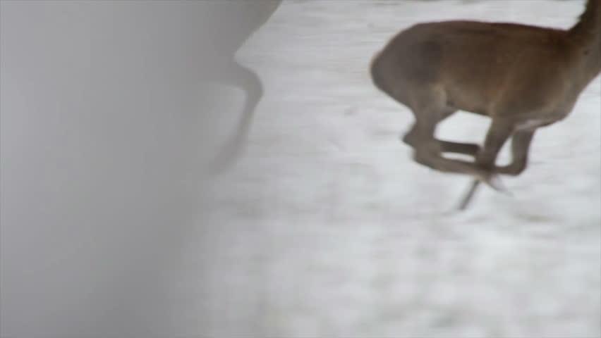 stoock footage herd of deer running in the winter woods