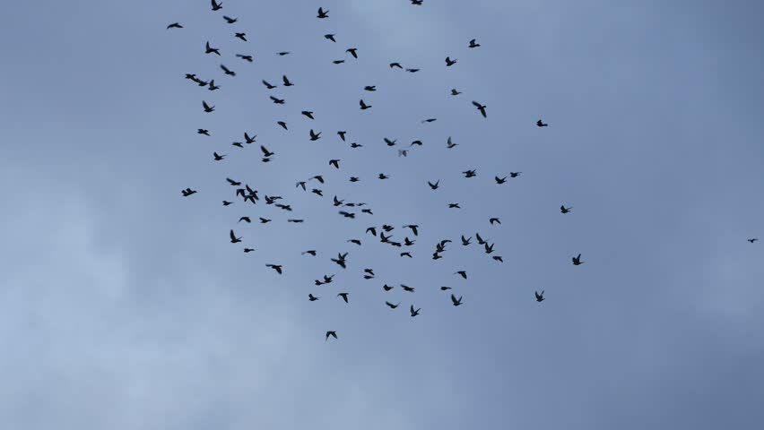 flying flocks of Pigeons