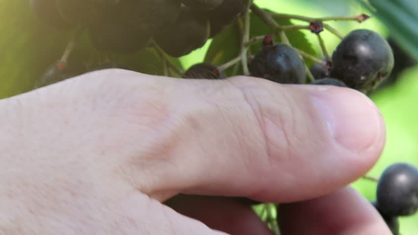 Hand picking ripe aronia berry fruit from the branch
