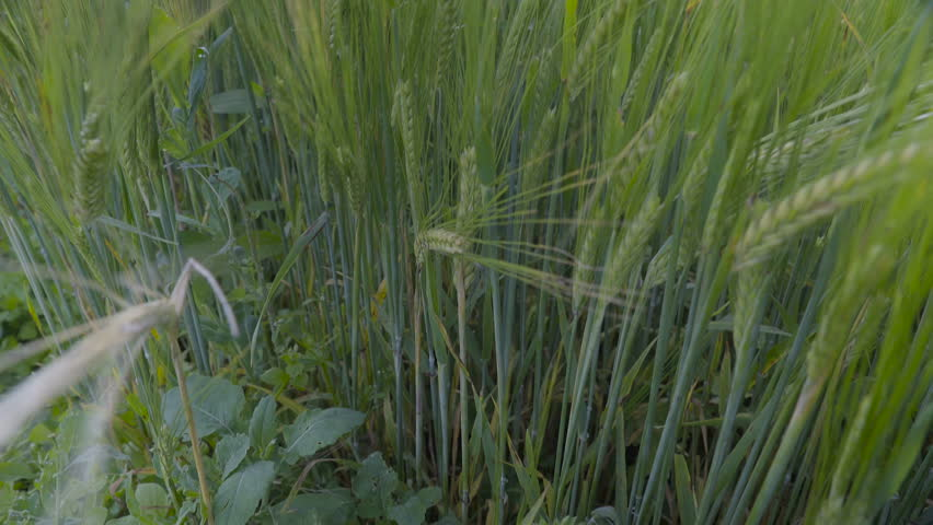 The Plant Of Green Barley In A Closer View Its Tall Thin With Small Leaves