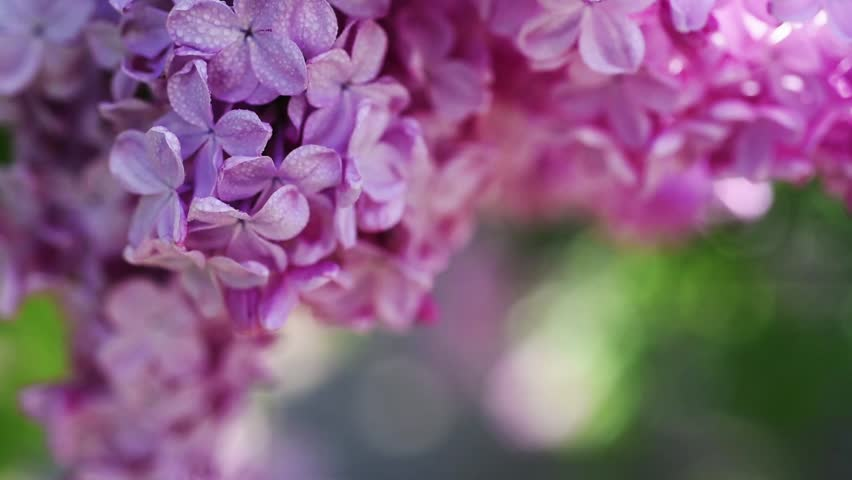 Lilac Purple Flowers Tree With Stock Footage Video 100 Royalty