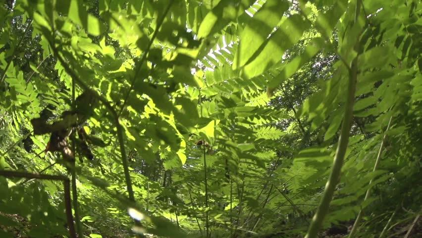 Royal fern in a german forest | Shutterstock HD Video #18704045