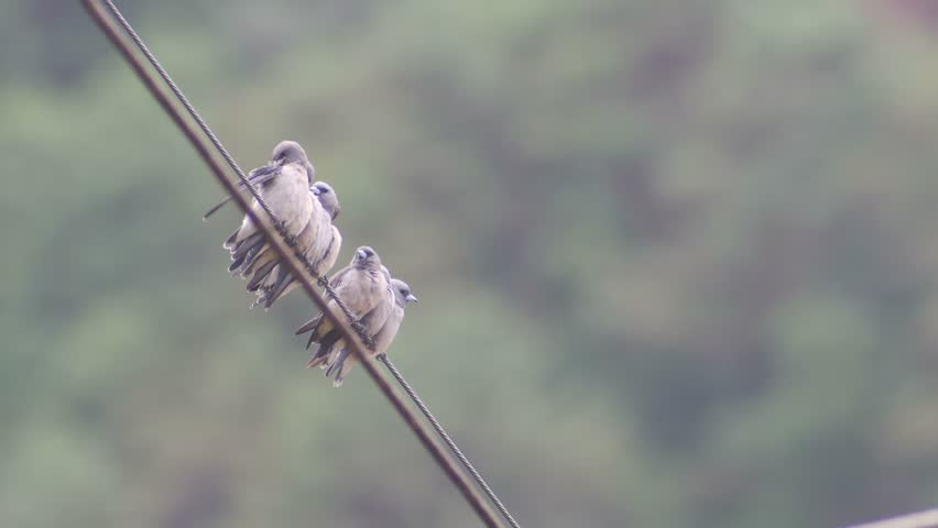 group of ashy woodswallow birds are cleaning their wings on the electrical wire