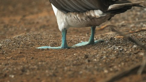 rear low angle shot of a blue-footed booby lifting its feet on isla floreana in the galapagos islands, ecuador