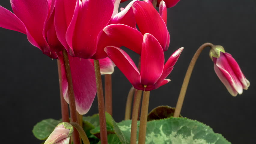 red ornamental house plant cyclamen flower blossoming macro timelapse against a dark flower