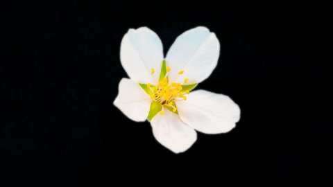 Almond flower growing and blossoming macro timelapse isolated with alpha, encoded with photo-png/ Almond flower blossoming macro time lapse