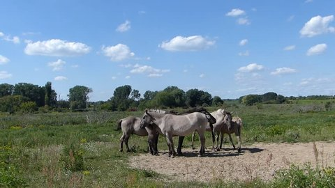A family of Konik horses finds a sandy spot to sit down and relax