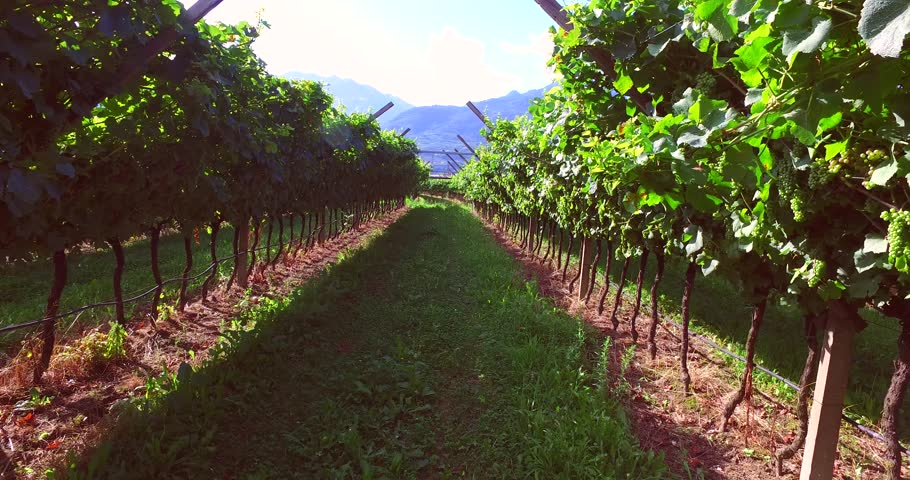 Road in wineyard, a Prosecco region in Italy