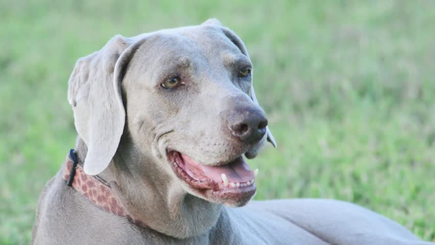 Weimaraner dog looking to the right, then turning her heard towards the viewer