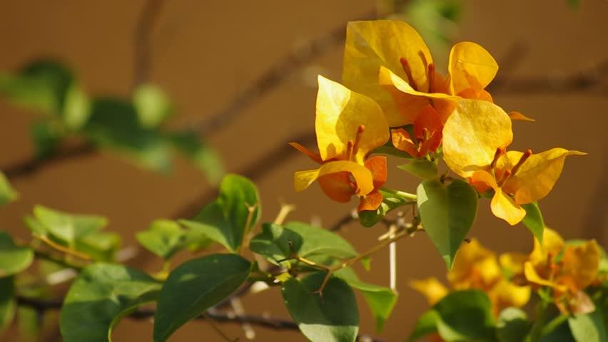 Header of Nyctaginaceae