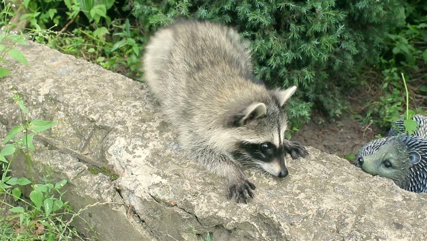 Header of raccoon