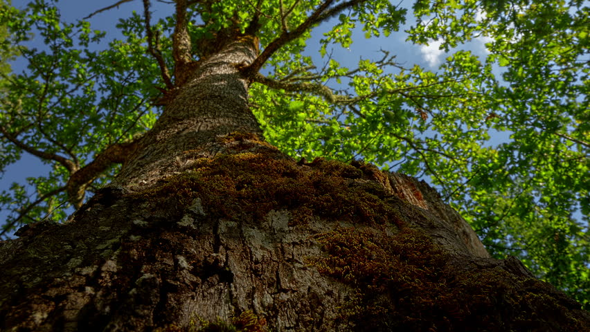 Time lapse footage. Panoramic view of Oak tree trunk against the blue sky. Dolly slider high dynamic range video.