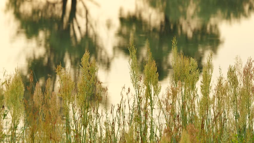 Man at the Landscape, Swamp or Forest Lake, High Dry Grass and Weeds, Apera. Field Flowers. Smooth Water in a Pond, Evening, Dusk Outdoors. Sunset, Yellow Light. Trees Reflection. Backpacker, Tourist