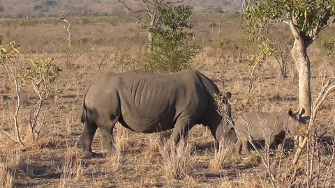 rhino walking and eating grass in the savannah of the kruger national park