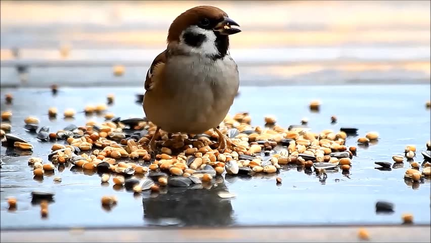 feeding wild sparrow bird, Passer montanus
