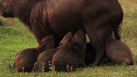 Capybara Breastfeeding Puppies
