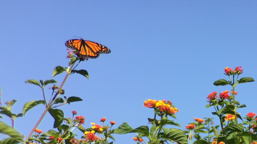 4K HD video of a Monarch butterfly, also known as milkweed butterfly, landing on orange lantana flowers and drinking nectar, The Monarch butterfly is considered an iconic pollinator species #19167814