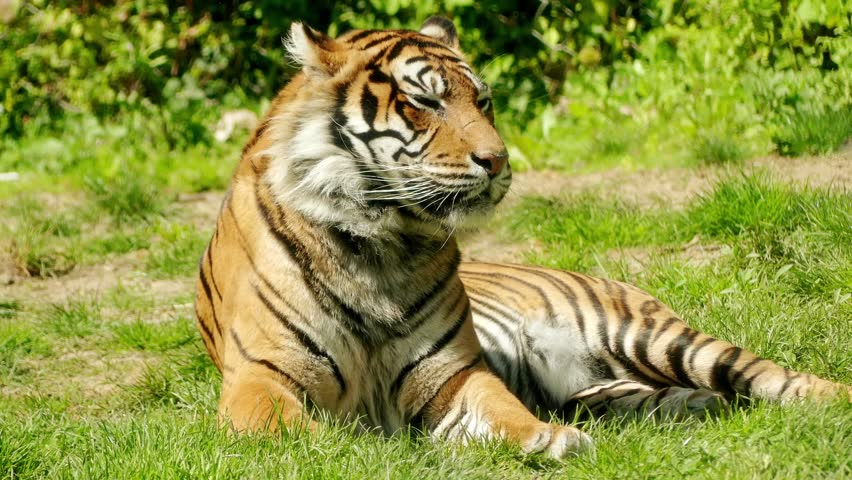 Sleeping Tiger In Grass Stock Image - Image: 1768421 |Bengal Tiger Tired