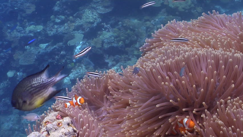 Clownfish swimming on shallow coral reef, Amphiprion percula HD, UP29151