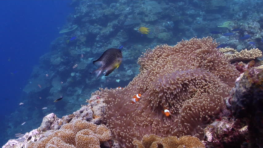 Clownfish swimming on shallow coral reef, Amphiprion percula HD, UP29149