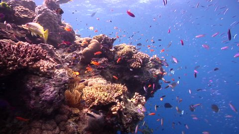 Ocean scenery busy top of the bommie - lots of fish and coral, on shallow coral reef, HD, UP28971