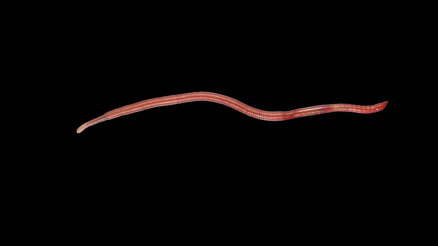 Earthworm creep with alpha channel (alpha with black background)