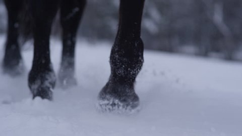 SLOW MOTION, CLOSE UP, DOF: Beautiful wild horse walking through white snowy blanket. Strong, powerful dark bay gelding stepping into soft cold snow. Small snowflakes accumulating on hooves and hair