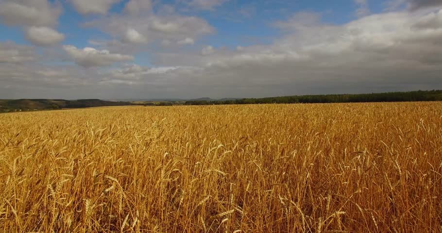 Wheat field. Aerial view. | Shutterstock HD Video #19311265