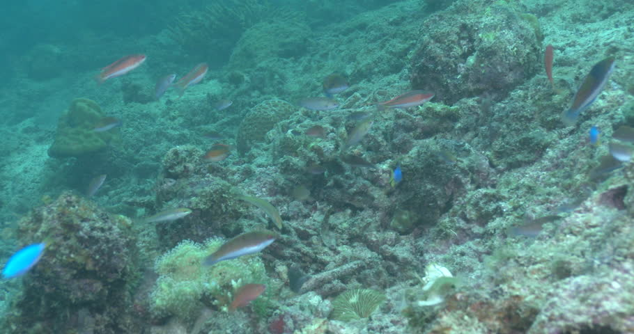 Nursalim flasherwrasse swimming and schooling on sand and coral rubble, Paracheilinus nursalim 4K UltraHD, UP39011 #19401925