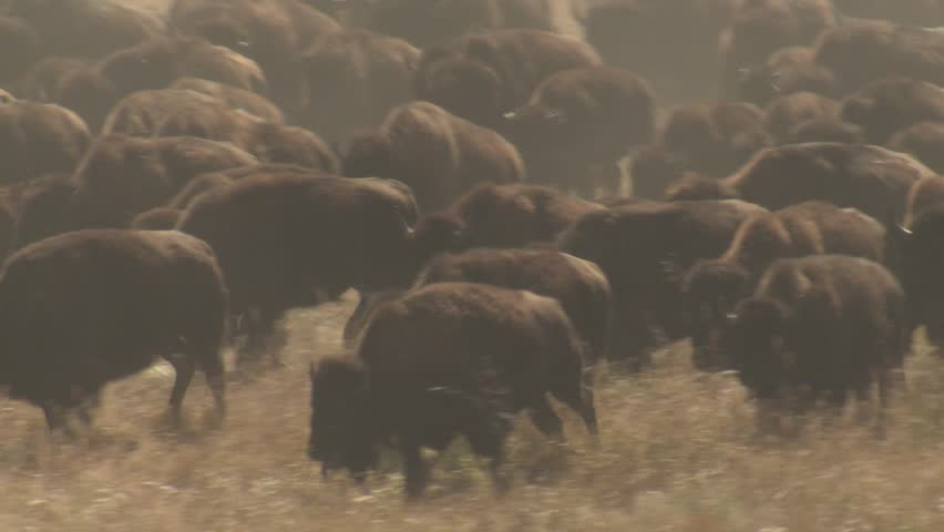 Bison Adult Young Calf Herd Many Running Stampeding Fall Autumn. Custer State Park, South Dakota, USA - 2015   Shutterstock HD Video #19414357