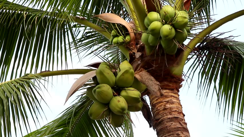 Coconut Tree With Sky Stock Footage Video (100% Royalty